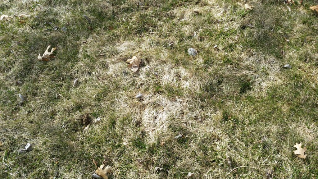 Snow Mold in Lawns